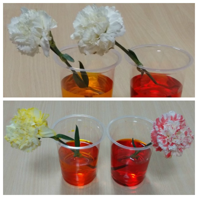 carnation color experiement