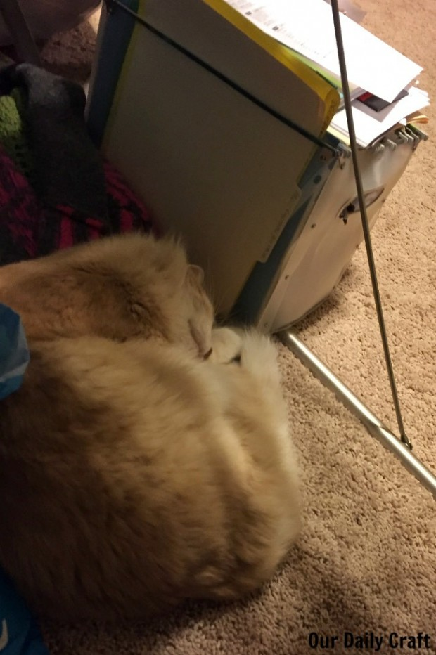 cat companion